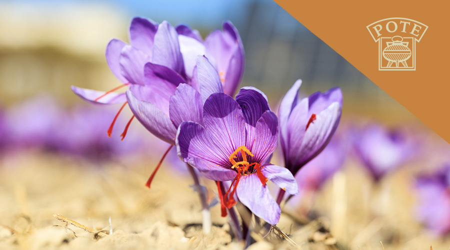 Cultivo del azafrán: una tradición milenaria